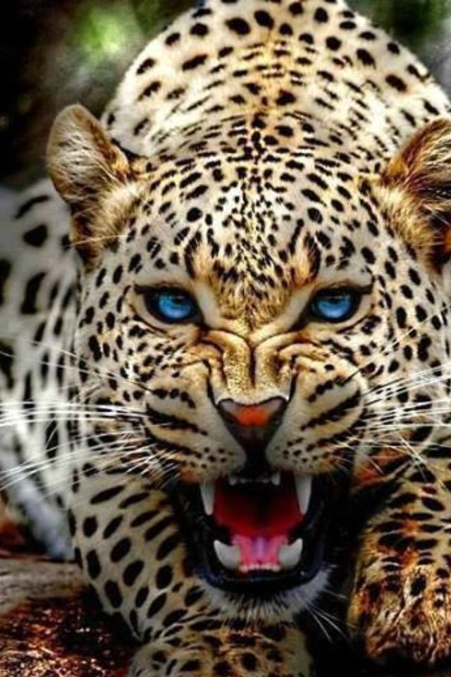 560d3c45ff46ce14e4431f4fbc3d06e8--leopard-eyes-leopard-animal